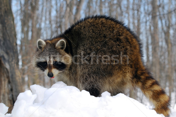 Raccoon Stock photo © nialat