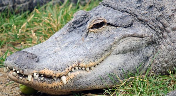 Crocodilo cabeça quadro olho Foto stock © nialat