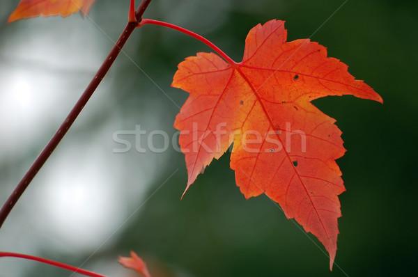 赤 カエデの葉 クローズアップ 画像 緑 森林 ストックフォト © nialat