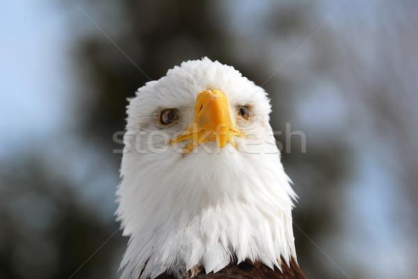 Amerikaanse kaal adelaar foto vrijheid Stockfoto © nialat