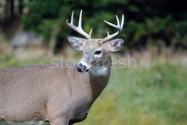 Whitetail deer Stock photo © nialat
