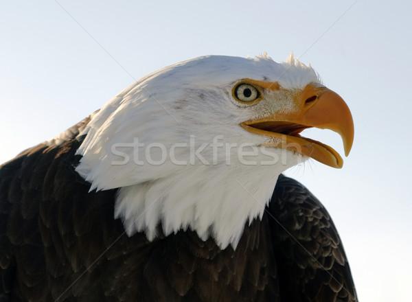 Calvo aquila americano uccello preda Foto d'archivio © nialat