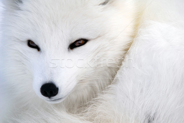 Photo stock: Arctique · Fox · photos · arbre · chien