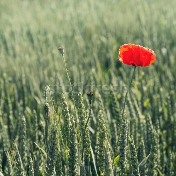 Rood poppy bloem een groene voorjaar Stockfoto © Nickolya