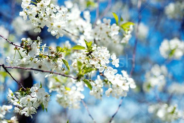 Bloemen bloesem boom lentebloemen kers blauwe hemel Stockfoto © Nickolya