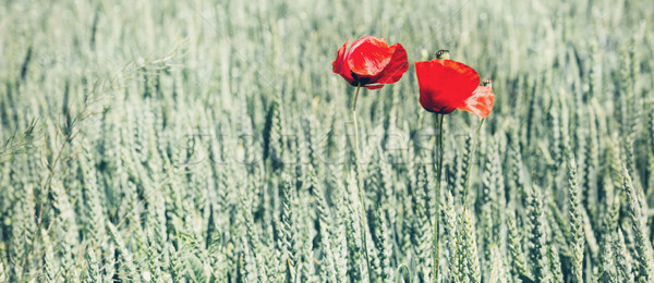 Rood poppy bloem twee bloemen groene Stockfoto © Nickolya