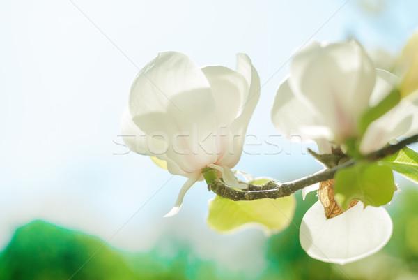 Magnolia boom bloesem witte zonsondergang Pasen Stockfoto © Nickolya