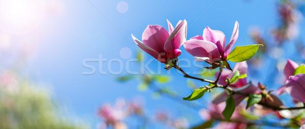 Magnolia boom bloesem roze blauwe hemel bloem Stockfoto © Nickolya