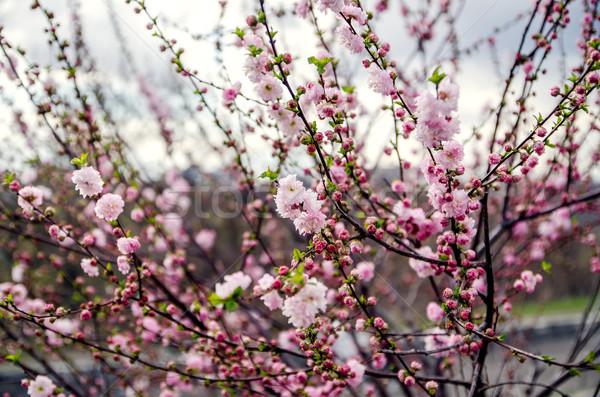 Bloemen bloesem boom lentebloemen kers dag Stockfoto © Nickolya