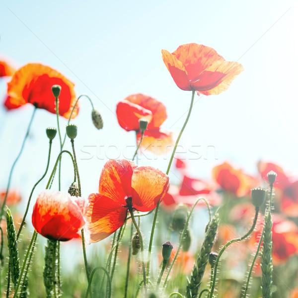 Rood poppy veld blauwe hemel wolken blad Stockfoto © Nickolya