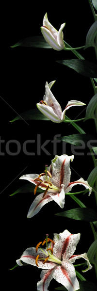 Lily Time-lapse Series Stock photo © nickp37