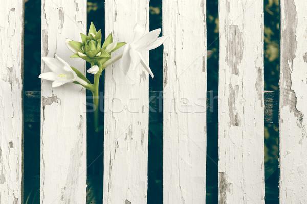 Jardín Lily blanco cerca Foto stock © NicoletaIonescu
