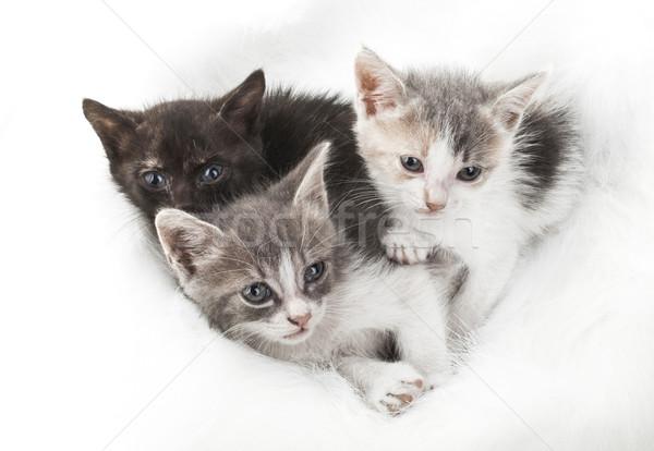 Küçük kedi yavrusu üç kabarık beyaz kürk Stok fotoğraf © NikiLitov