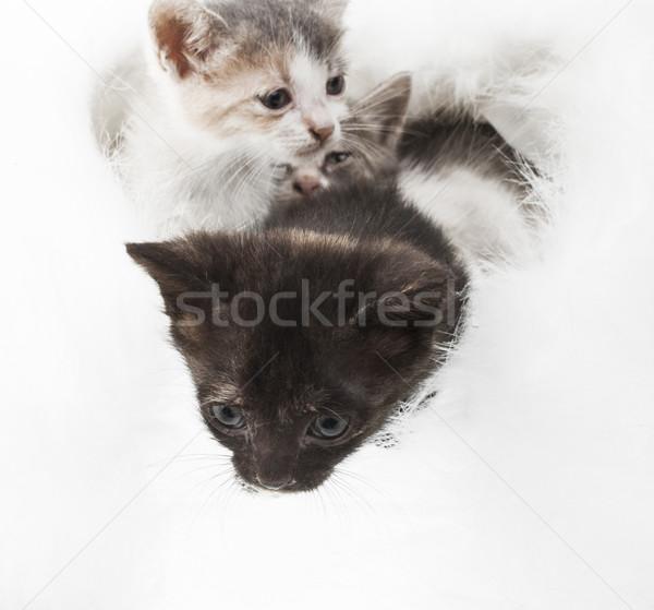 Pequeno gatinho três fofo branco pele Foto stock © NikiLitov