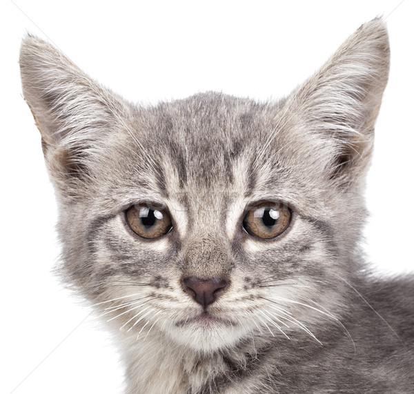 Küçük kedi yavrusu küçük gri yalıtılmış beyaz Stok fotoğraf © NikiLitov