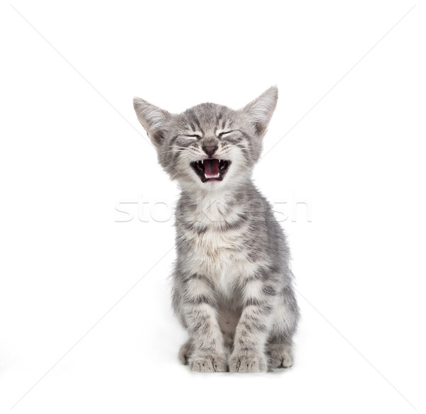 Küçük gri kedi yavrusu yalıtılmış beyaz kedi Stok fotoğraf © NikiLitov