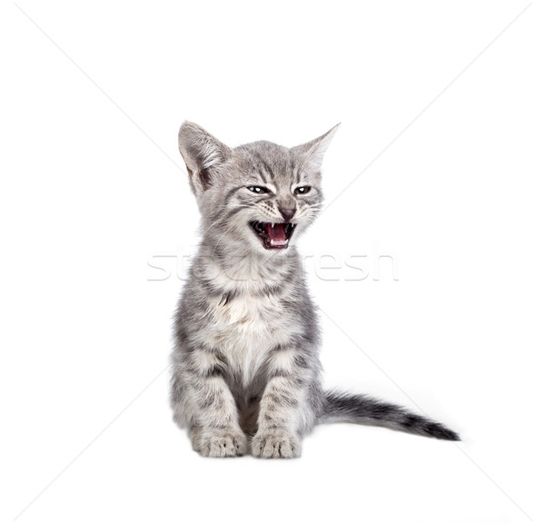 Küçük gri kedi yavrusu yalıtılmış beyaz doğa Stok fotoğraf © NikiLitov