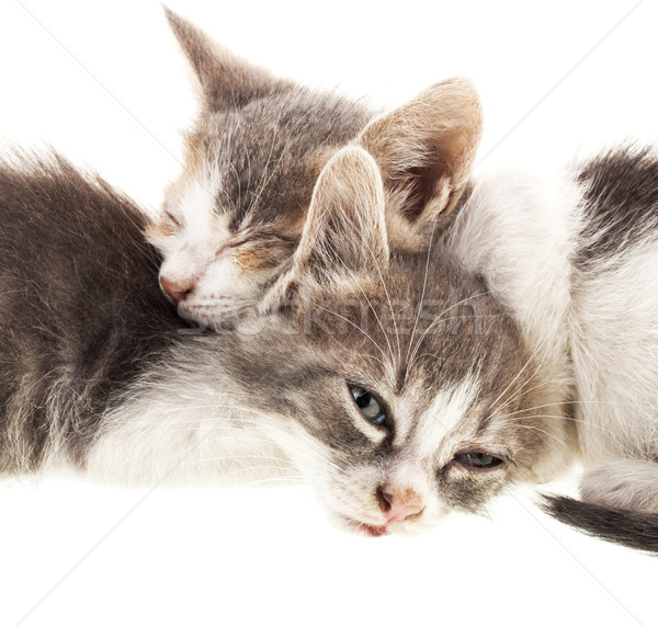 Küçük kedi yavrusu iki uyku yalıtılmış beyaz Stok fotoğraf © NikiLitov