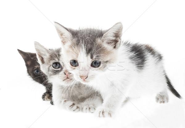 Küçük kedi yavrusu üç yalıtılmış beyaz gözler Stok fotoğraf © NikiLitov