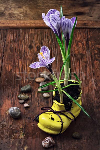 Crocus giallo scarpa decorativo legno fiore Foto d'archivio © nikolaydonetsk
