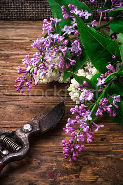Bush may lilac  Stock photo © nikolaydonetsk