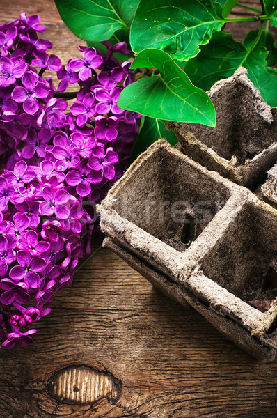 Bush may lilac and peat pot Stock photo © nikolaydonetsk