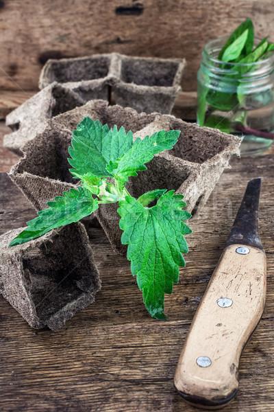 Melissa officinalis herb on wooden table top Stock photo © nikolaydonetsk