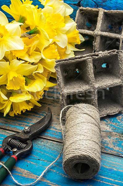 spring daffodils Stock photo © nikolaydonetsk
