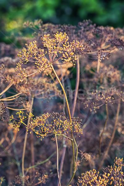 Dry bushes of dill.Selective focus Stock photo © nikolaydonetsk