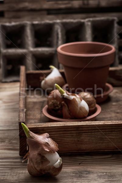 shoots of tulips Stock photo © nikolaydonetsk