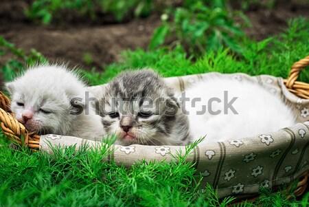 Recién nacido gatitos cesta gato jóvenes blanco Foto stock © nikolaydonetsk