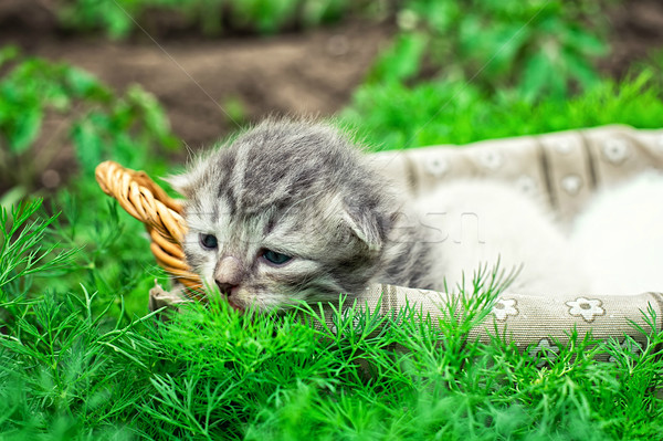 子猫 バスケット 猫 小さな 白 ストックフォト © nikolaydonetsk