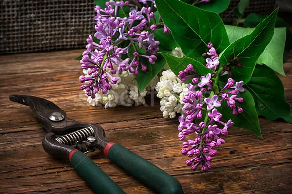 ストックフォト: 茂み · ライラック · 香ばしい · はさみ · 木製のテーブル · 花