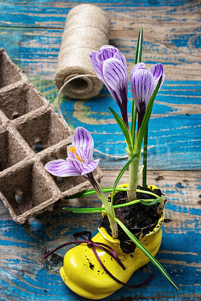 flower of Crocus in a stylish yellow shoe Stock photo © nikolaydonetsk