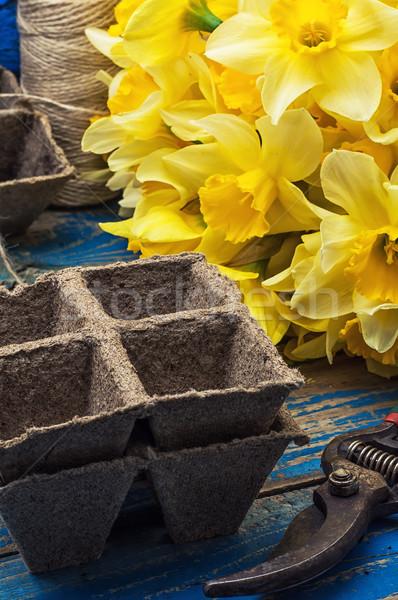 bouquet of blooming April daffodils Stock photo © nikolaydonetsk