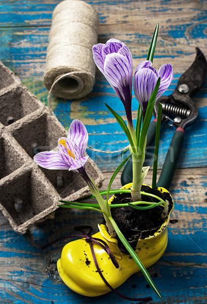 Purple striped Crocus in the shoe Stock photo © nikolaydonetsk
