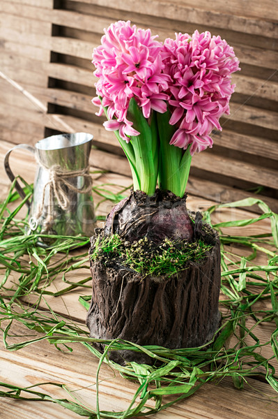 Foto stock: Florescimento · flor · jacinto · pote · decorado · musgo