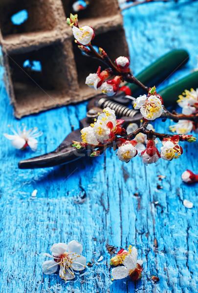 April cherry blossoms Stock photo © nikolaydonetsk