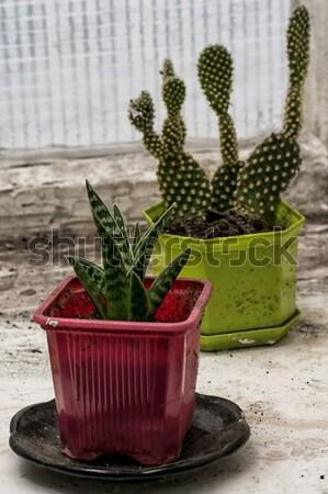 Cactus vieux boîte vintage style jardin Photo stock © nikolaydonetsk