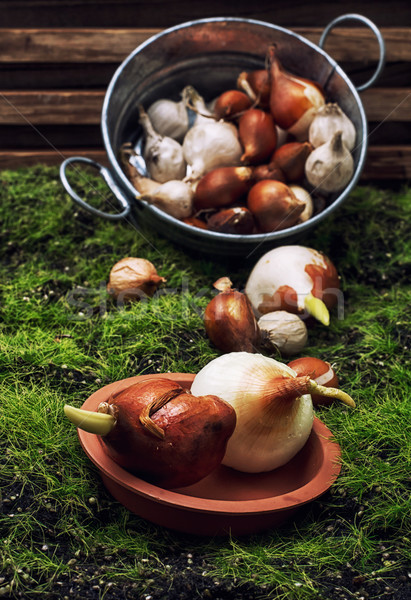 seeds of bulbous plants Stock photo © nikolaydonetsk