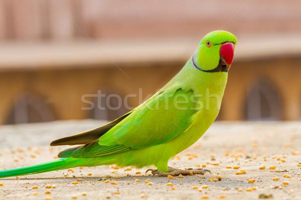 Groene papegaai noord-india Rood tropische indian Stockfoto © nilanewsom