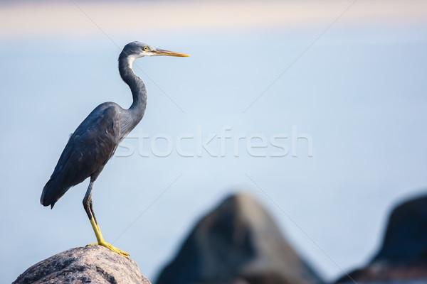 Perching Heron Stock photo © nilanewsom