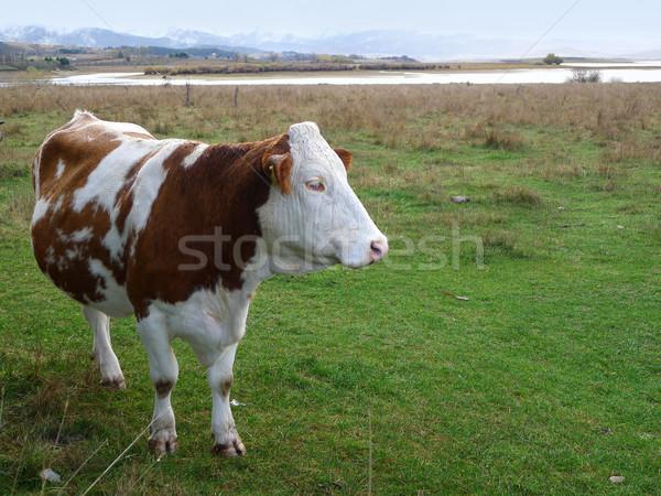 Mucca rosolare bianco montagna latte erba verde Foto d'archivio © NiroDesign