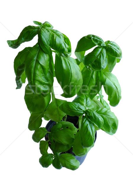 Basil Plant Stock photo © NiroDesign