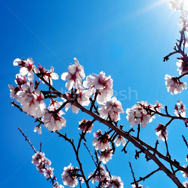 Mandula virágok közelkép fa tele virágzik Stock fotó © nito
