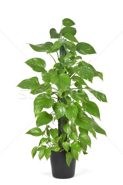 Epipremnum aureum plant or golden pothos Stock photo © nito