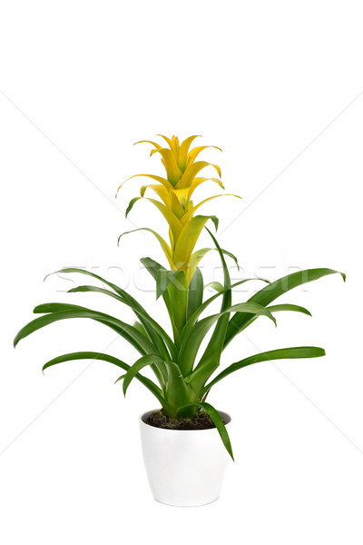 yellow Bromeliad Guzmania plant Stock photo © nito