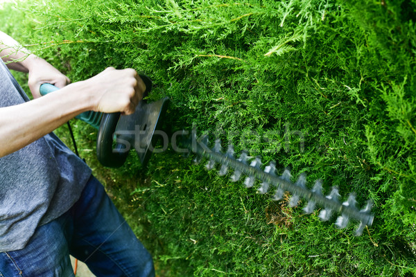young man pruning a hedge Stock photo © nito