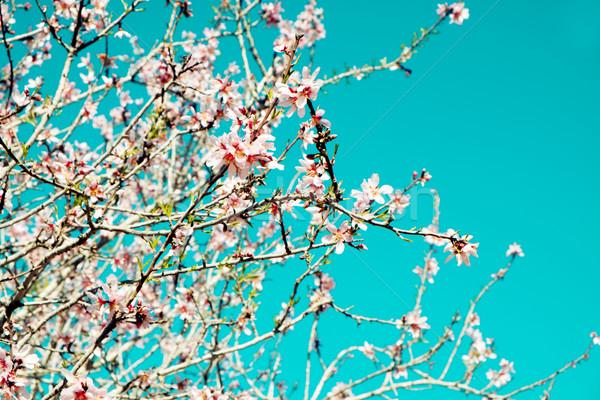 Amêndoa árvore completo florescer ramo Foto stock © nito