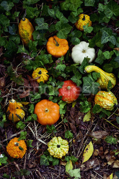 pumpkins in the garden Stock photo © nito